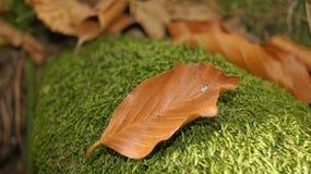 Сломленное умерло лист упаденными на мшистый камень Стоковое Изображение