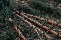 Сломленные деревья после мощного урагана Стоковое фото RF