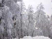 Сломленные стволы дерева снежного леса зимы в морозном тумане Стоковое фото RF