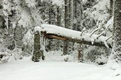 Сломленный, дерево, в зимах, лес Стоковая Фотография