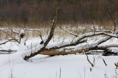 Сломленный снег дерева обернутый в луге Стоковое Изображение RF