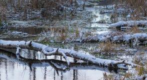 Сломленный снег ствола дерева березы обернул лежать над водой Стоковые Фото