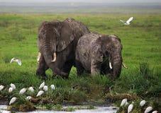 2 слона в саванне вышесказанного Кения Танзания serengeti Maasai Mara стоковое изображение