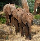 3 слона младенца идут друг к другу вышесказанного Кения Танзания serengeti Maasai Mara стоковые изображения rf