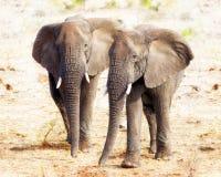 2 слона совместно в национальном парке Kruger Стоковое Фото