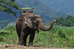 Слоны Азии в Таиланде Стоковые Изображения