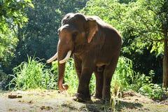 Слоны Азии в Таиланде Стоковое Изображение