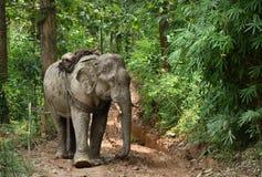 Слоны Азии в Таиланде Стоковое Изображение RF