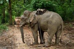 Слоны Азии в Таиланде Стоковая Фотография RF