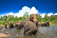 Слоны в джунглях Стоковые Изображения RF