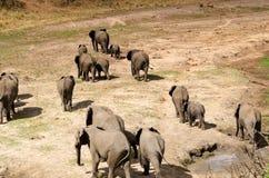 Слоны в национальном парке Tarangire Стоковые Изображения