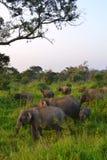 Слоны в одичалом - 3606 Стоковое фото RF