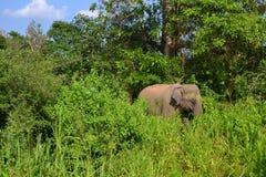 Слоны в одичалом - 3436 Стоковые Изображения RF