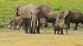 Слоны в парке Amboseli, Кении сток-видео