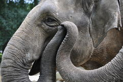 Слоны держа хоботы стоковая фотография