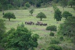 Слоны леса Стоковое фото RF