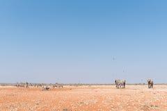 Слоны, зебры Burchells и зебры горы Hartmann Стоковые Фотографии RF
