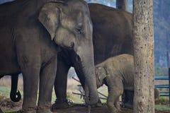 слоны индийские Стоковая Фотография
