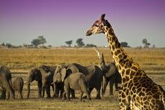 Слоны и жираф Стоковые Изображения RF