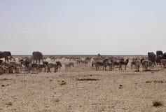 Слоны и табуны зебры и антилопы ждут через жару полдня на waterhole Etosha, Намибии Стоковое фото RF