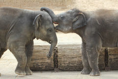 Слоны касаясь одину другого нежно Стоковые Фотографии RF