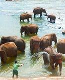 Слоны купая, Шри-Ланка Стоковое Изображение