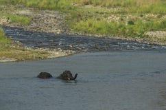 Слоны купая Стоковое Фото