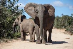 Слоны матери и икры африканские Стоковая Фотография RF