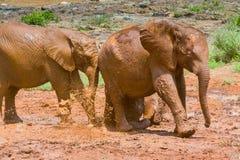 Слоны младенца африканские бежать через ванну грязи Стоковая Фотография