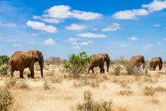 Слоны, национальный парк Tsavo стоковое фото rf
