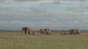 Слоны на движении видеоматериал