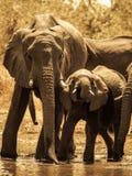 Слоны на водопое Стоковые Изображения RF