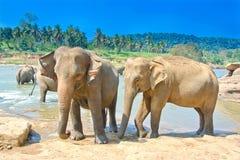 Слоны на детском доме слона Pinnawala, Шри-Ланке Стоковые Изображения RF