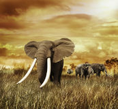 Слоны на заходе солнца стоковые изображения