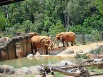 Слоны на зоопарке Стоковое Изображение