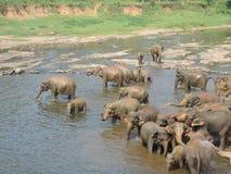 Слоны на реке Стоковое Изображение RF