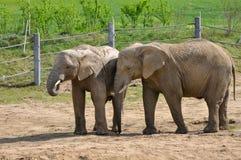 Слоны на paddock Стоковая Фотография RF