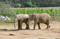 Слоны на paddock Стоковые Фото