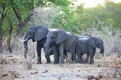 Слоны на waterhole, в национальном парке Bwabwata, Намибия Стоковая Фотография RF