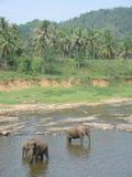 Слоны на waterhole Стоковое Изображение RF