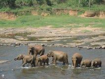 Слоны на waterhole Стоковые Изображения