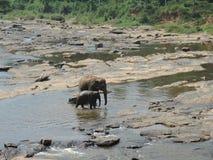 Слоны на waterhole Стоковая Фотография
