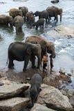 Слоны от детского дома слона Pinnawela (Pinnewala) ослабляют на банке реки Maha Oya в Шри-Ланке Стоковая Фотография RF