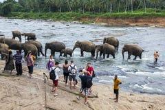 Слоны от детского дома слона Pinnewala (Pinnawela) на банках реки Maha Oya в Шри-Ланке Стоковая Фотография RF