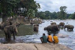 Слоны от детского дома слона Pinnewala (Pinnawela) на банках реки Maha Oya в Шри-Ланке Стоковое Изображение