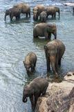 Слоны от детского дома слона Pinnewala & x28; Pinnawela& x29; ванна в реке Maha Oya в Шри-Ланке Стоковая Фотография RF