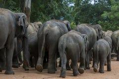 Слоны от детского дома слона Pinnewala & x28; Pinnawela& x29; начните их прогулку к реке Maha Oya Стоковое Изображение