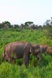 слоны одичалые Стоковая Фотография