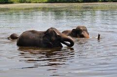 слоны одичалые Стоковые Изображения