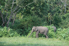 слоны одичалые Стоковые Изображения RF